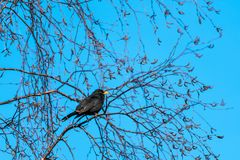 Singing Blackbird in a beautiful spring season day Royalty Free Stock Image