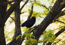 Singing blackbird Stock Photos