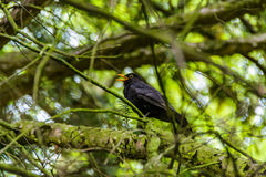 Singing Blackbird. Stock Photo