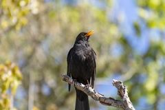 Singing Blackbird Turdus merula sitting on a branch. Singing Blackbird sitting on a , twig, branch picture from the North of Sweden royalty free stock photo
