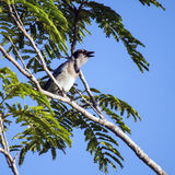 Singing Blue Jay bird royalty free stock images