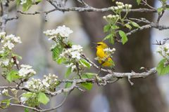 Singing Blue-Winged Warbler. A blue winged warbler sings a songs while trying to hide behind an apple blossom royalty free stock photos