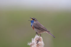 Singing Bluethroat. On a reed plume Royalty Free Stock Photo