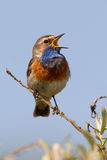 Singing Bluethroat. On a branch Royalty Free Stock Photo