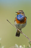 Singing Bluethroat Stock Photos