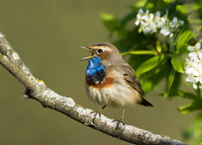 Singing Bluethroat. On the bird cherry tree Royalty Free Stock Image