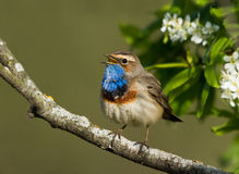 Singing Bluethroat. On the bird cherry tree Stock Images