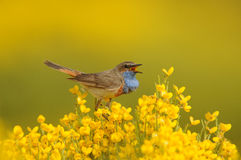 Singing Bluethroat Bird on yellow Piornos Stock Images