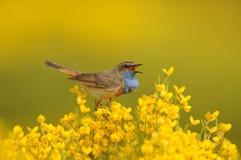 Singing Bluethroat Bird on yellow Piornos Stock Images