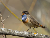 Singing Bluethroat on branch. In spring Stock Images