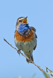 Singing Bluethroat Stock Photo