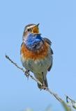 Singing Bluethroat Stock Photo