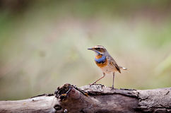 Singing Bluethroat on branch Royalty Free Stock Photography