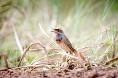 Singing Bluethroat on branch Royalty Free Stock Images