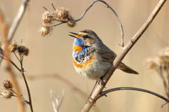 Singing Bluethroat at dry grass Royalty Free Stock Photography