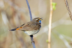 Singing Bluethroat at dry grass Royalty Free Stock Images