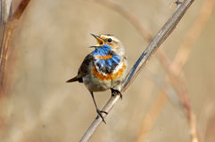 Singing Bluethroat at dry grass Stock Photos