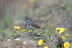 Singing Bluethroat at the ground among coltsfoots Royalty Free Stock Image