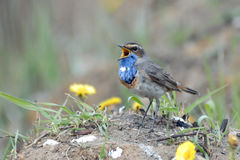 Singing Bluethroat at the ground among coltsfoots Stock Photo