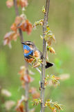 Singing a bluethroat Stock Images