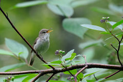 Singing Blyth's reed warbler Royalty Free Stock Image