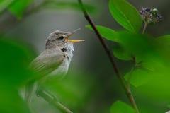 Singing Blyth's reed warbler Stock Image