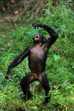 Singing Bonobo. The Bonobo, Pan paniscus, previously called the Pygmy Chimpanzee and less often, the Dwarf or Gracile Chimpanzee, is a great ape and one of the Royalty Free Stock Photo