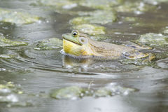 Singing Bullfrog Stock Photo