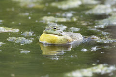Singing Bullfrog Royalty Free Stock Photos