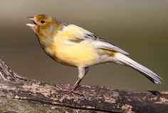 Singing Canary. Yellow canary perched on a tree branch and singing stock images