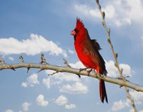 Singing Cardinal Perched on Limb. Cardinal singing on tree limb Royalty Free Stock Photo