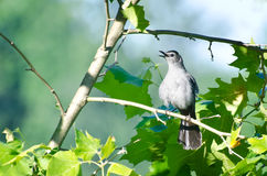 Singing Catbird Royalty Free Stock Photo