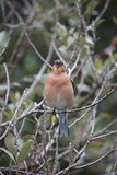 Singing Chaffinch Stock Image