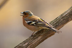 The singing chaffinch Stock Photography