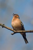 Singing chaffinch bird. Chaffinch bird singing on the twig Stock Image