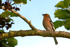 Singing Chaffinch stock photo