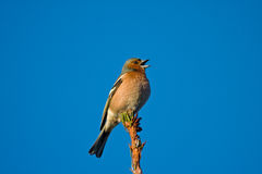 Singing Chaffinch Royalty Free Stock Photos