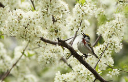 Singing Chestnut-sided Stock Photography