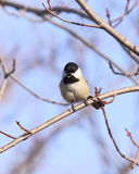 Singing Chickadee. A male Black-capped Chickadee sings his mating song from a perch in a budding maple tree on a sunny Spring day Stock Images
