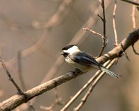Singing Chickadee. Black-capped chickadee singing while perched on a tree branch stock image