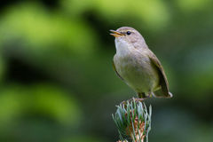Singing Chiffchaff. On top of a firtree royalty free stock photos