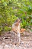 Singing chipmunk stock image