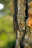 Singing Cicada. A cicada sits on a tree trunk Stock Photos