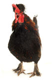 Singing cock Stock Photography