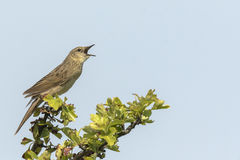 Singing Common Grasshopper warbler bird Locustella naevia mating Stock Photography