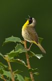 Singing Common Yellowthroat. Common Yellowthroat (Geothlypis trichas) in full song royalty free stock photography
