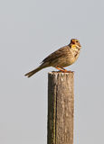 A singing Corn Bunting Royalty Free Stock Photos