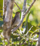 A singing Cuban Solitaire Royalty Free Stock Photos