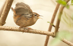 A singing and displaying Wren bird Troglodytes troglodytes. Royalty Free Stock Photos