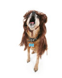 Singing dog Royalty Free Stock Photography